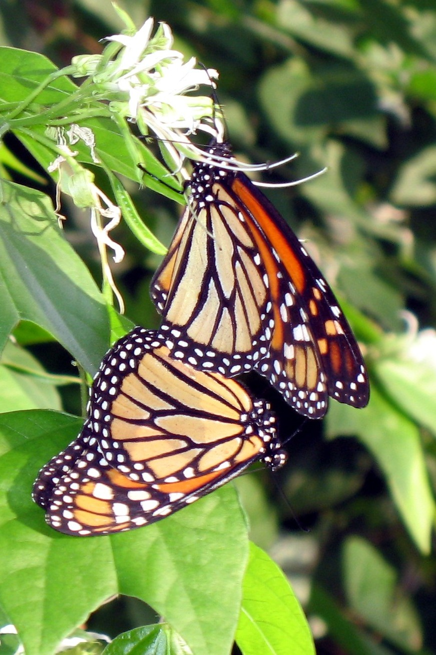 Monarch Love.jpg