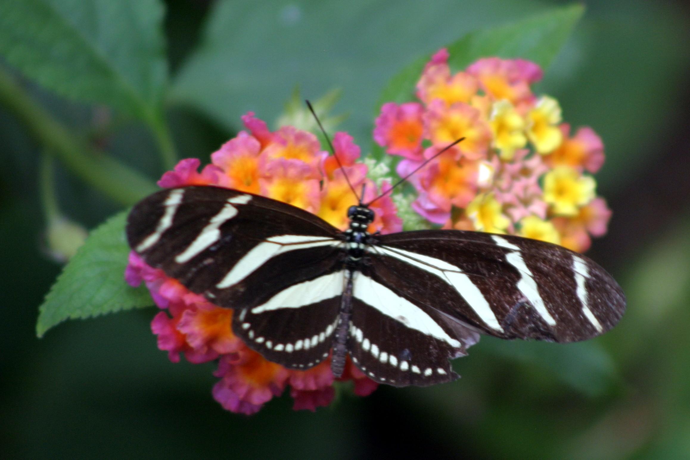 Zebra Longwing.JPG