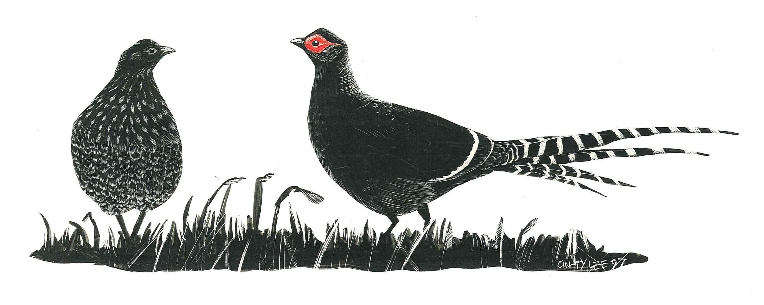Mikado Pheasants