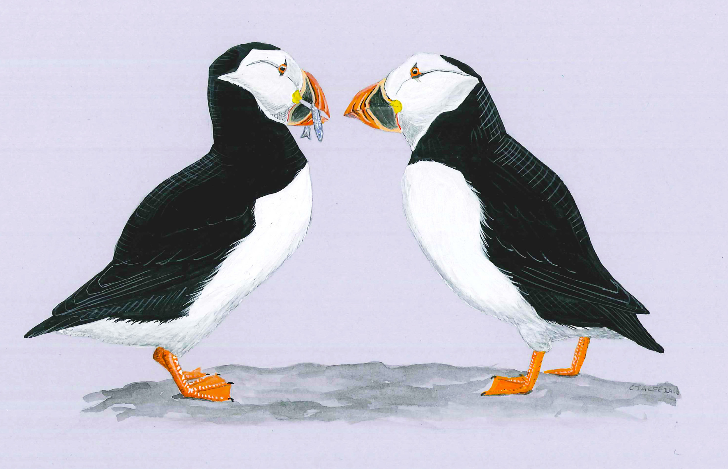 Atlantic Puffin pair feeding