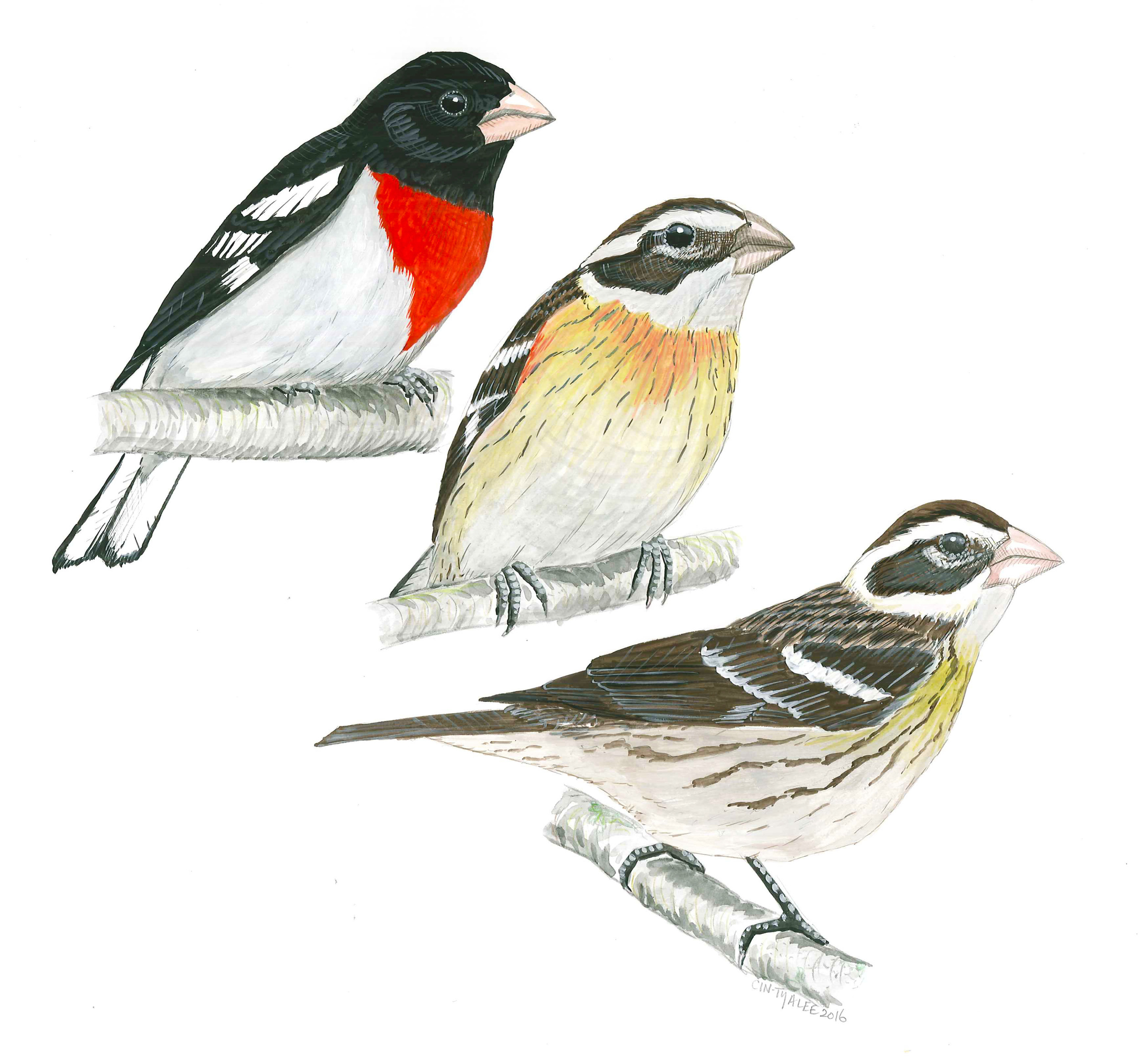 Rose-breasted Grosbeaks