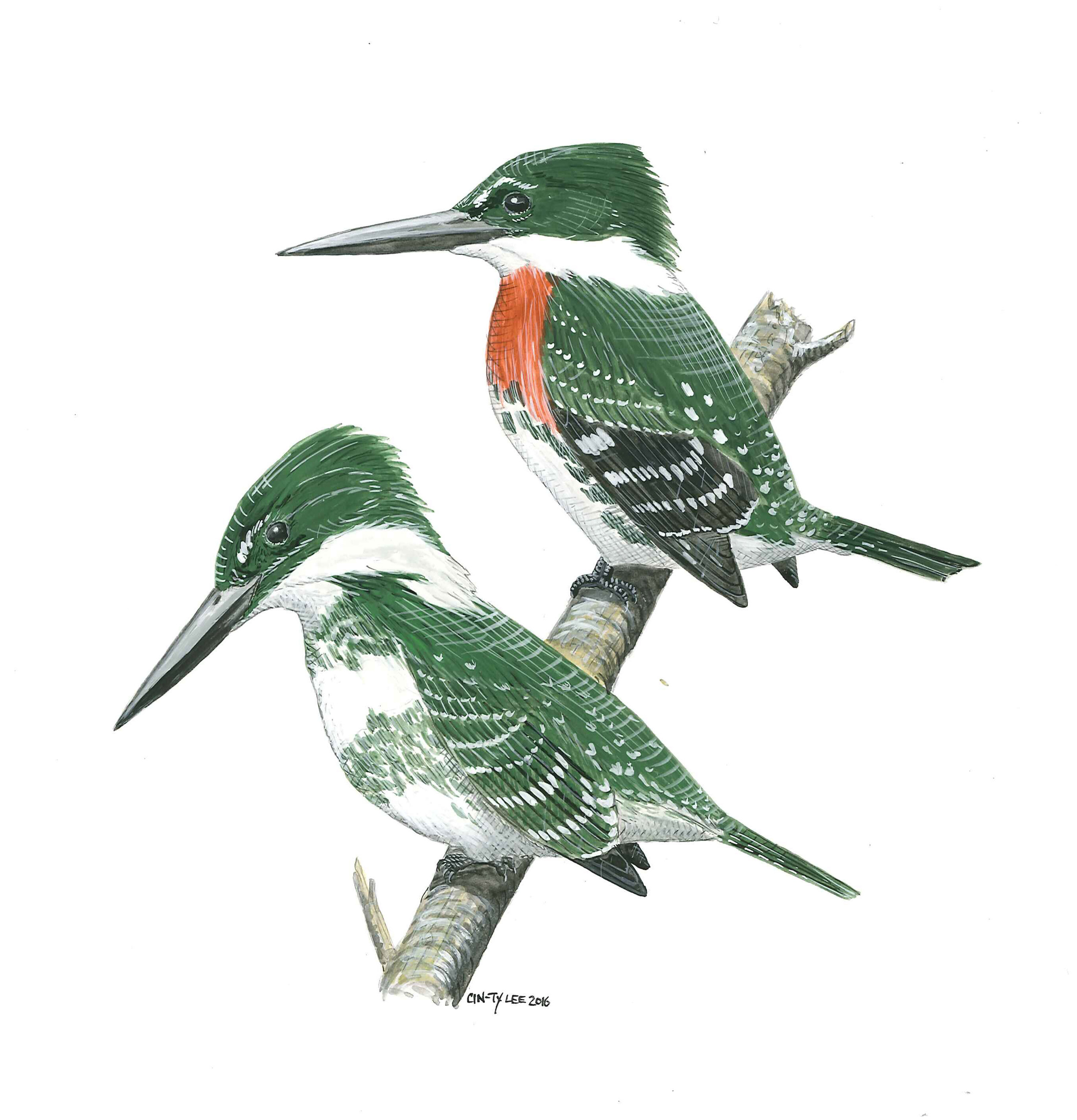 Green Kingfishers