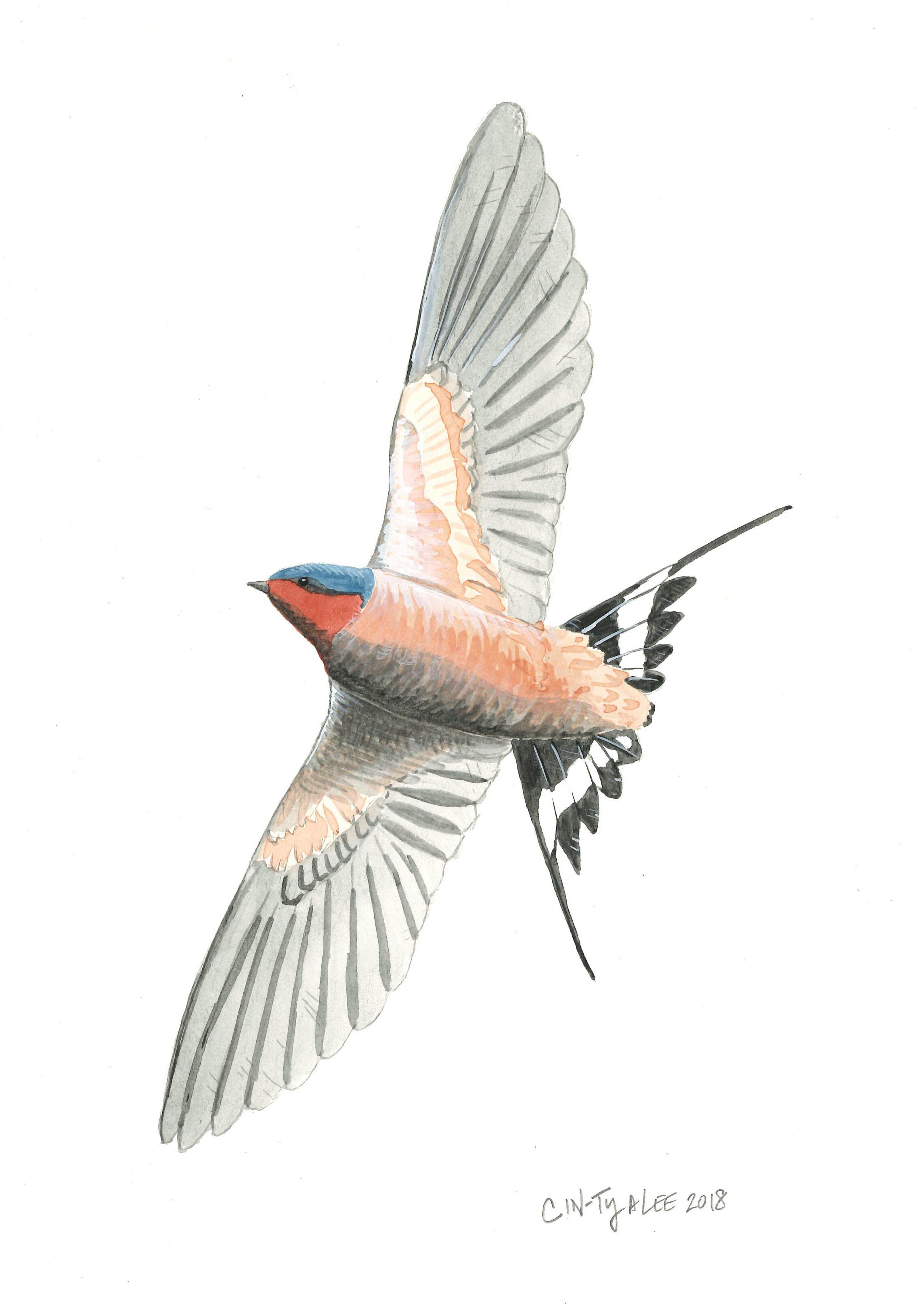 BarnSwallow2018.jpg