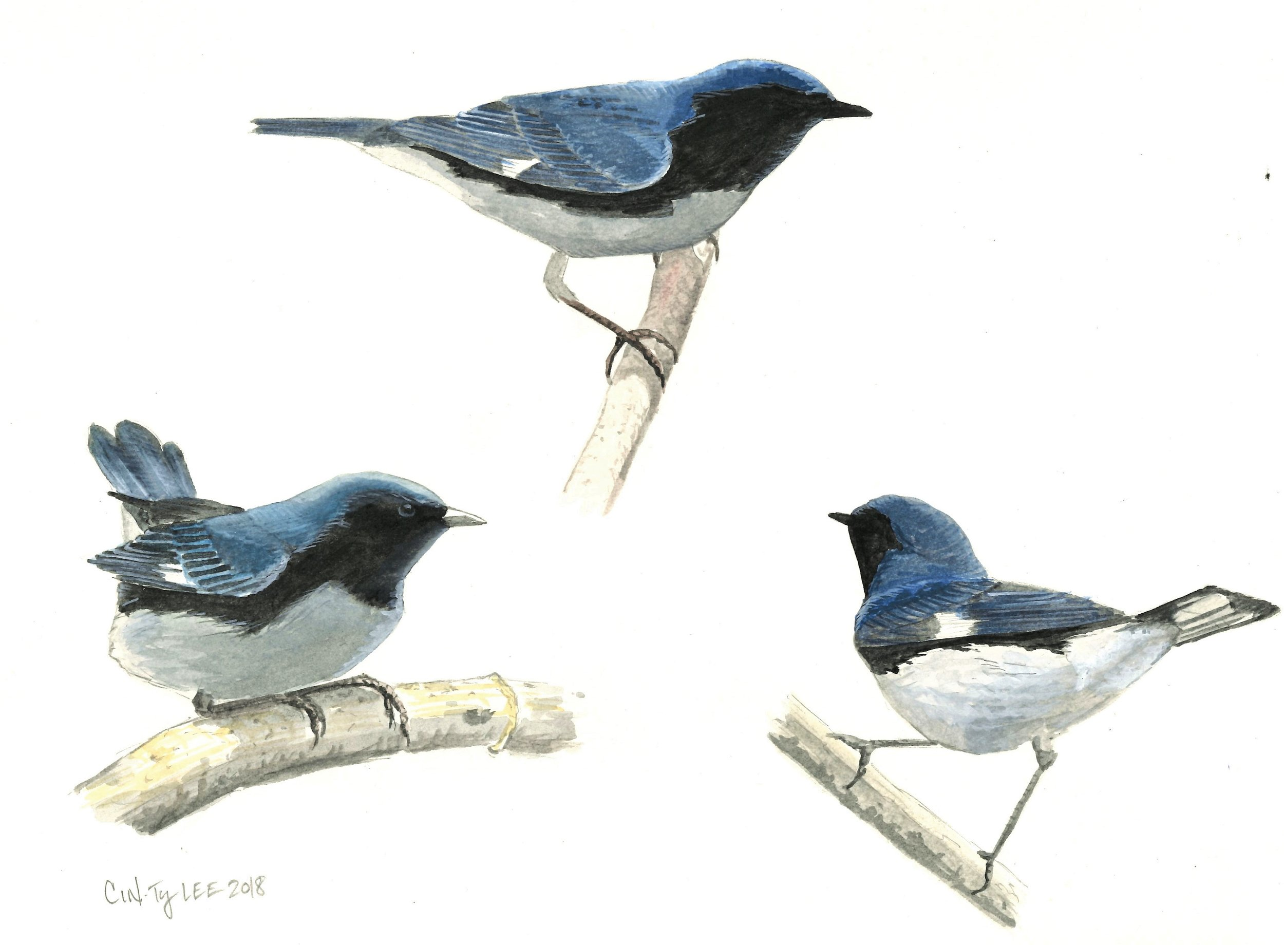Black-throated Blue Warbler study