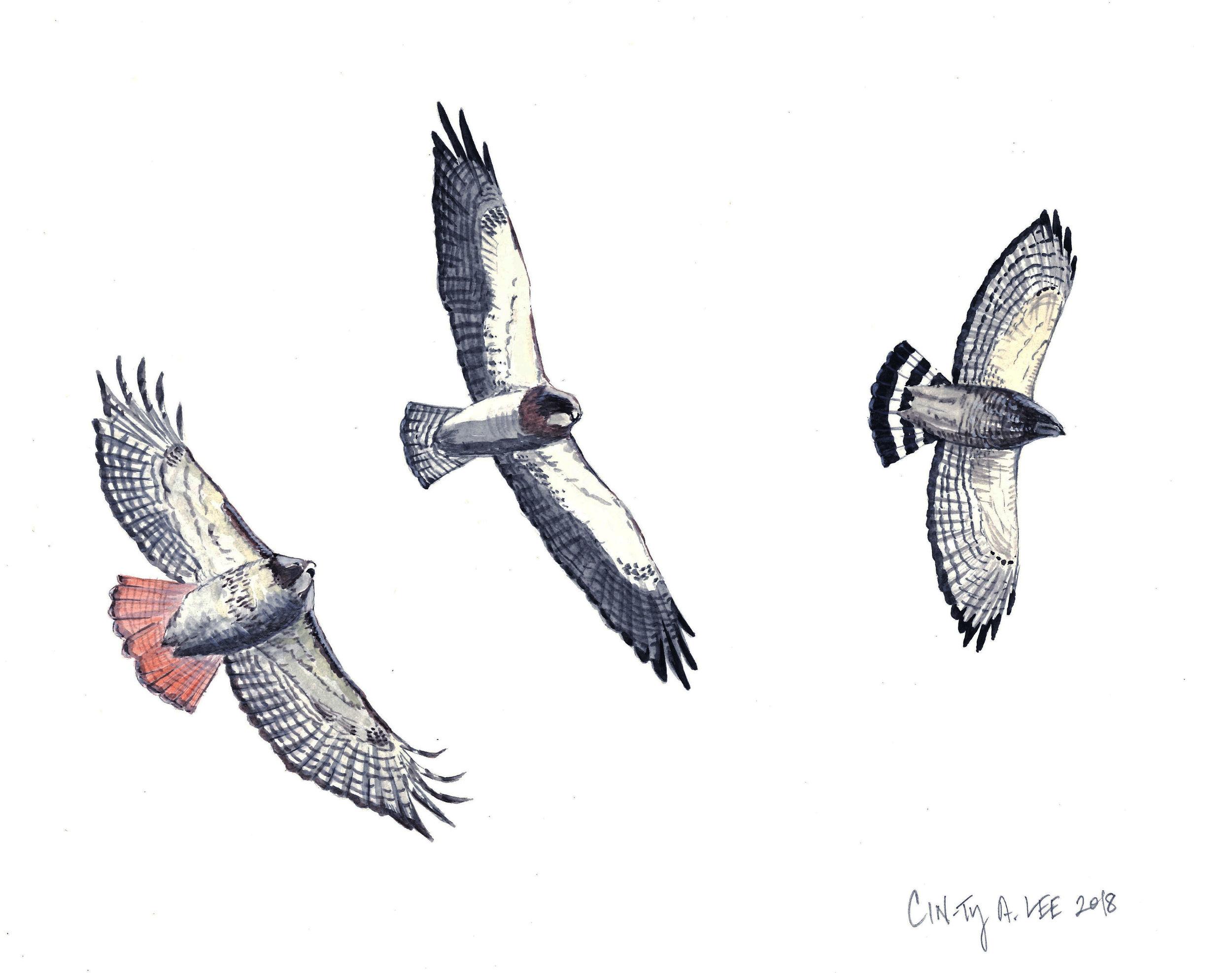 Hawks overhead