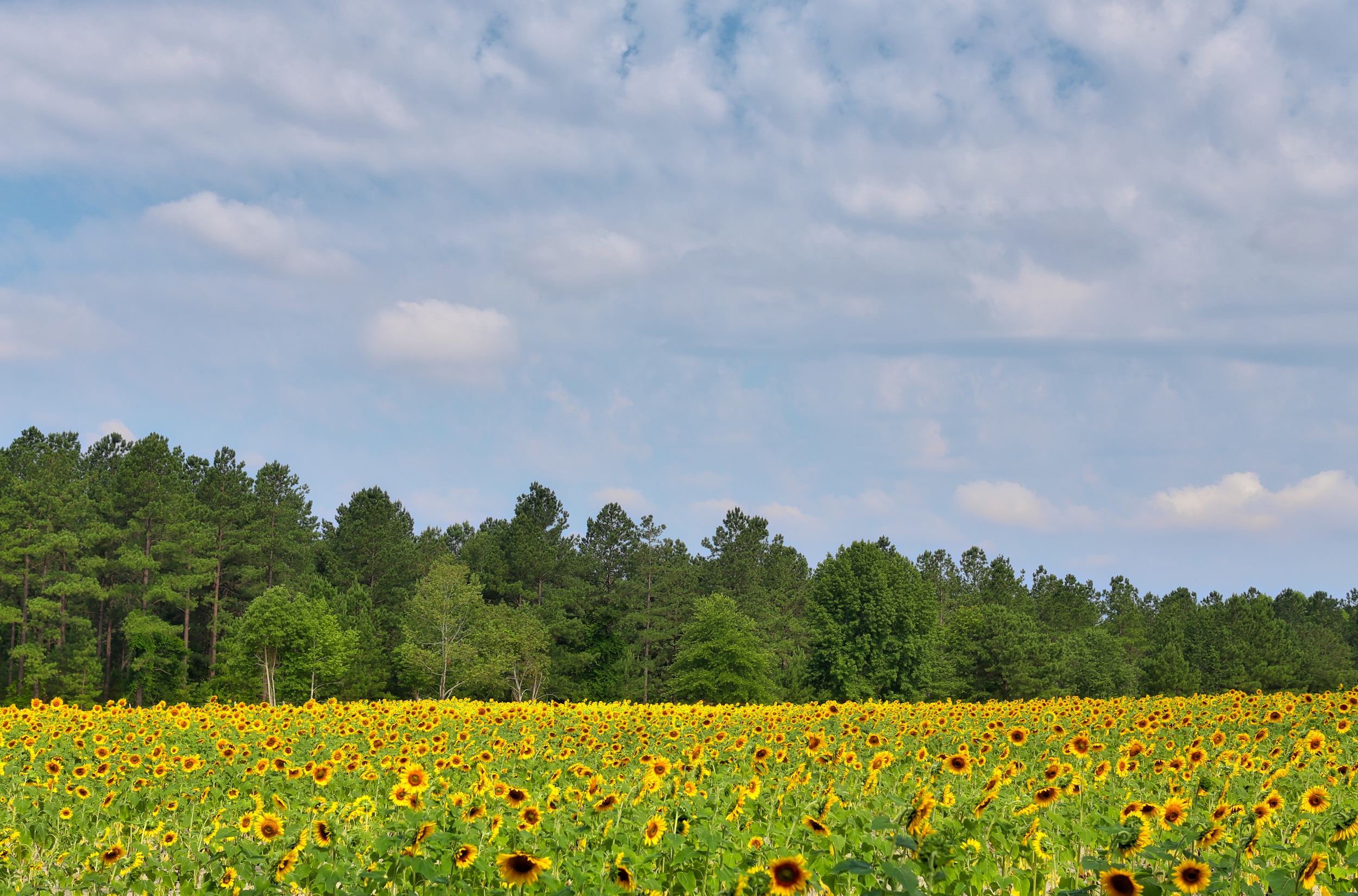 Sunflower Field, Jon Courville Photography