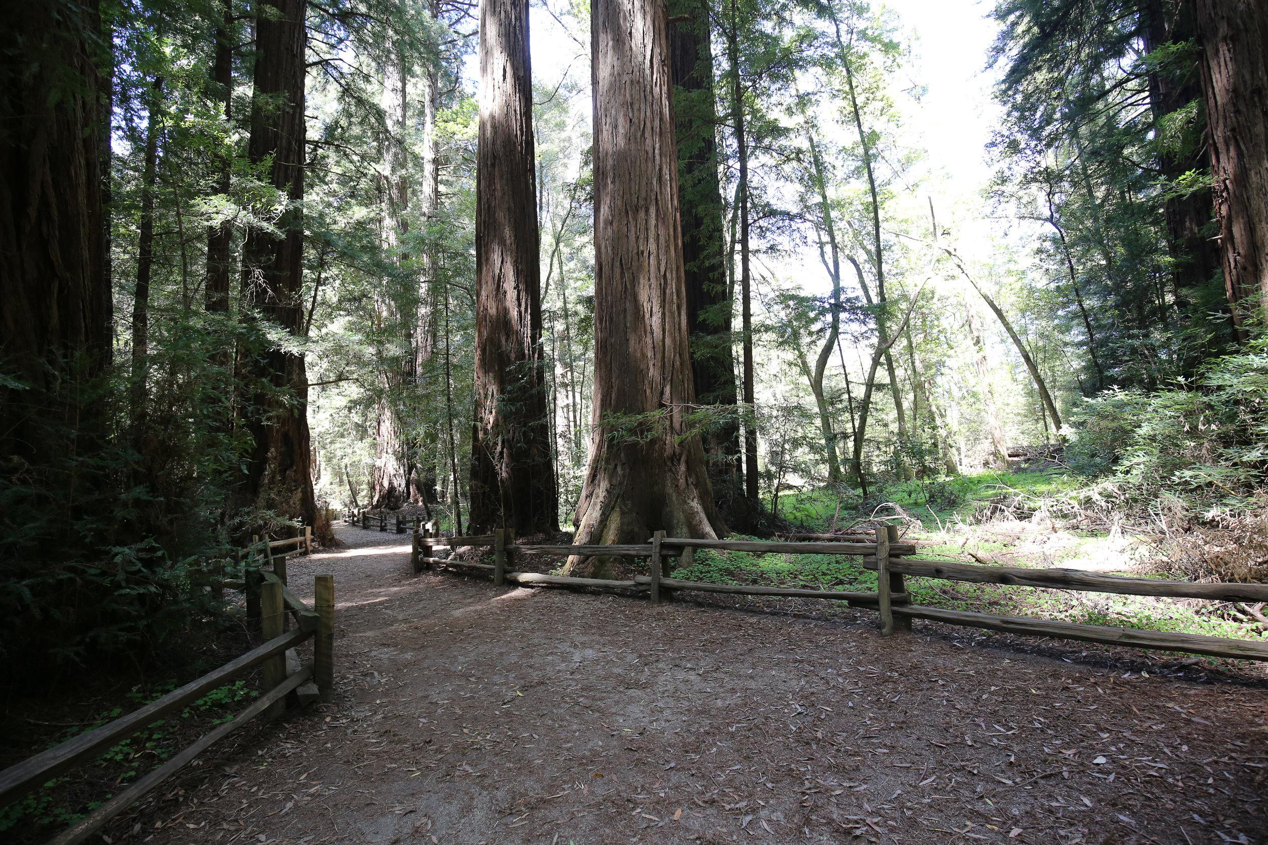 redwoods_JCP-9.jpg