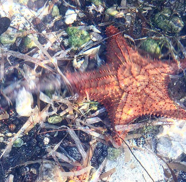 User the sea #starfish #seastars #seagrass #clearbluewater #lowtide #beachcombing #snorkelingday #lifeisbetterinthebahamas