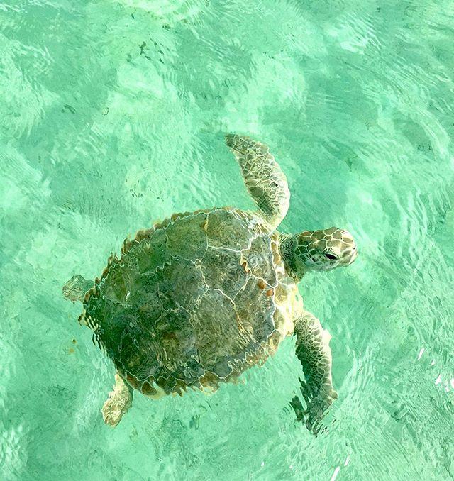 passing by #babyturtle #lookingfordinner #fastswimmer #calmsea #sealife #bahamablue #eleuthera 💕