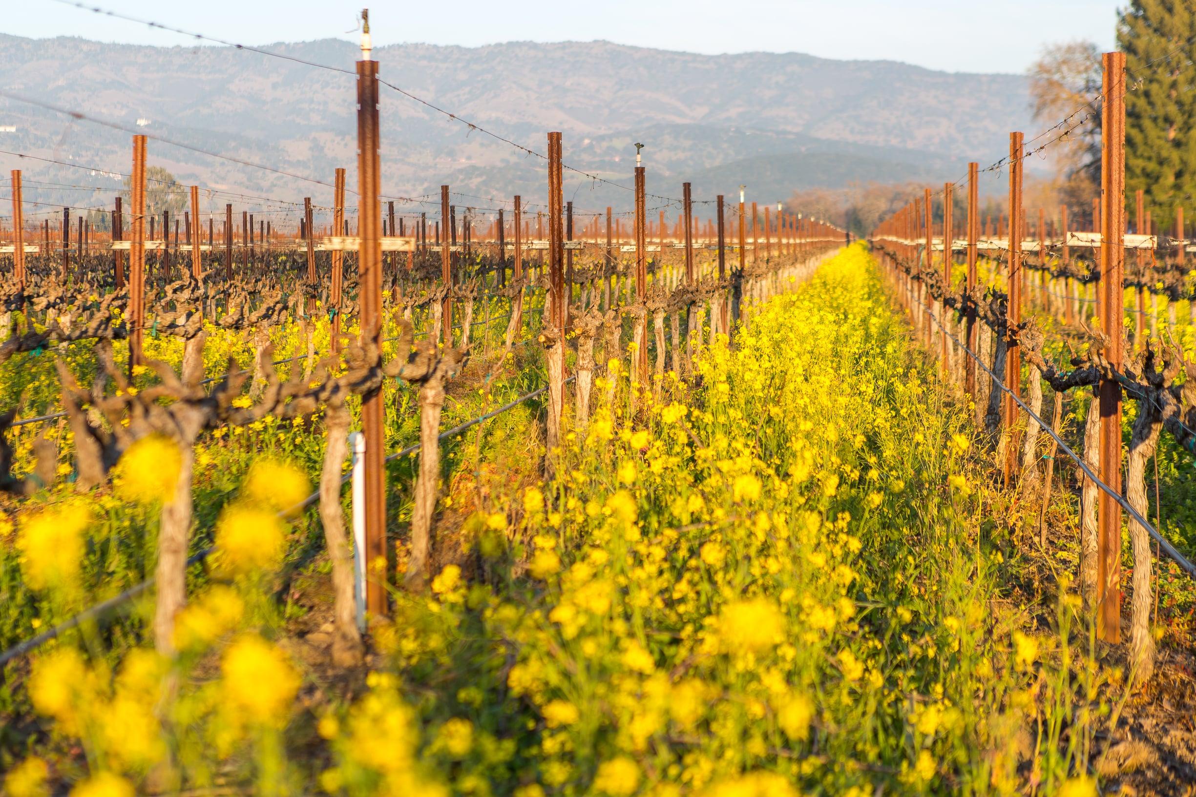 VineyardMustard2015-38.jpg