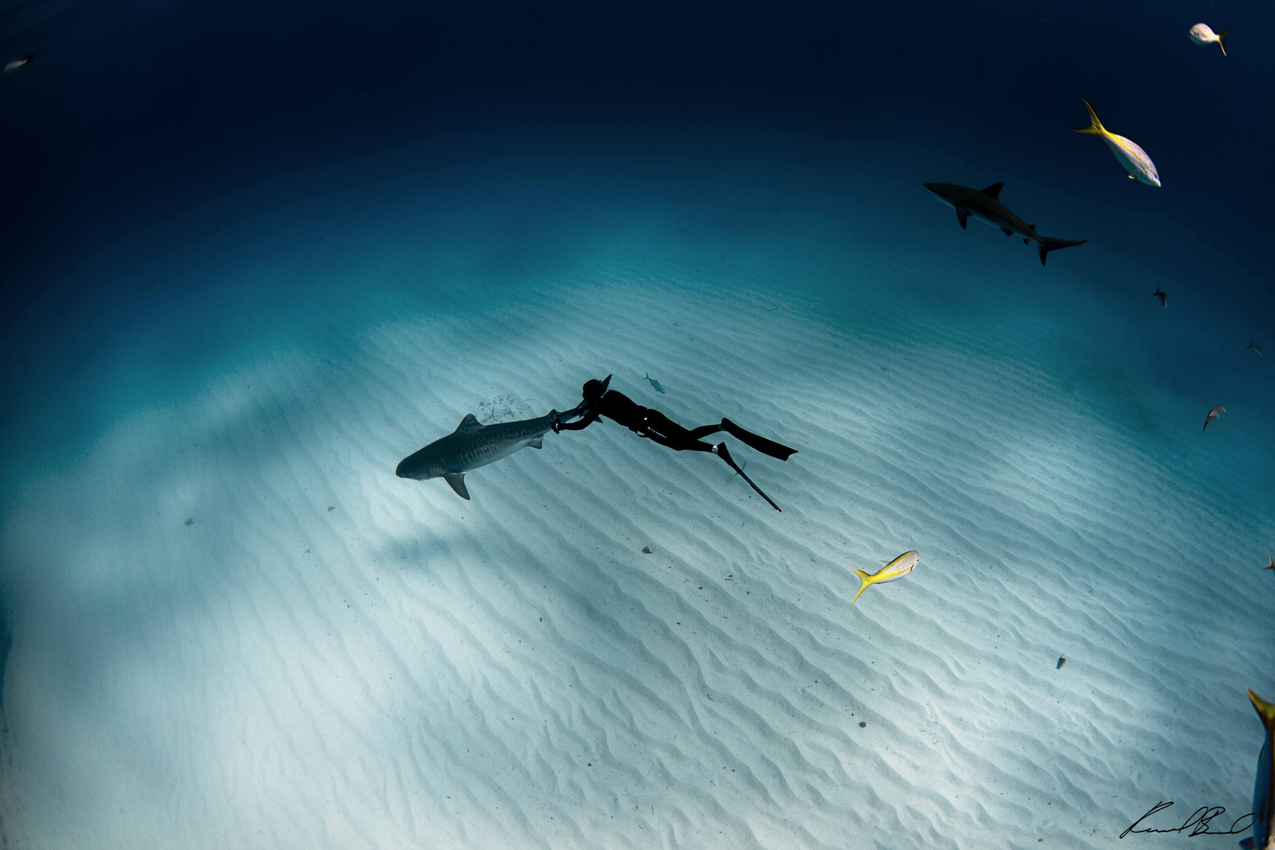 Freediving and filming tiger shark.  Photo by Raul Boesel (freediving)