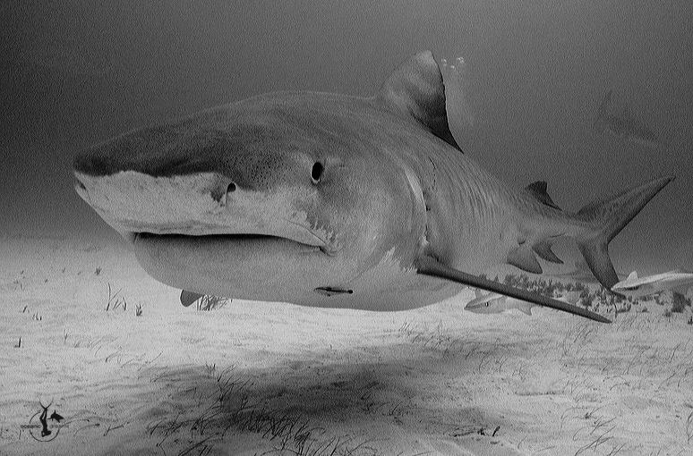 Tiger Shark at Tiger Beach, Bahamas. Photo by Wolfgang Leander (2009)