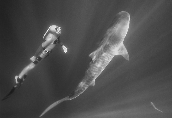 William Winram freediving with South African Tiger Shark. Image by: Felix Leander