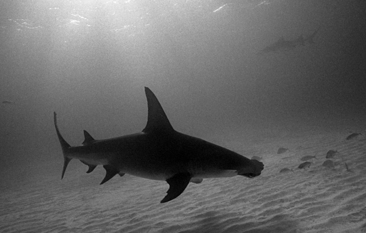 Great Hammerhead Shark - keeping it simple.  Image by Wolfgang Leander, 2007