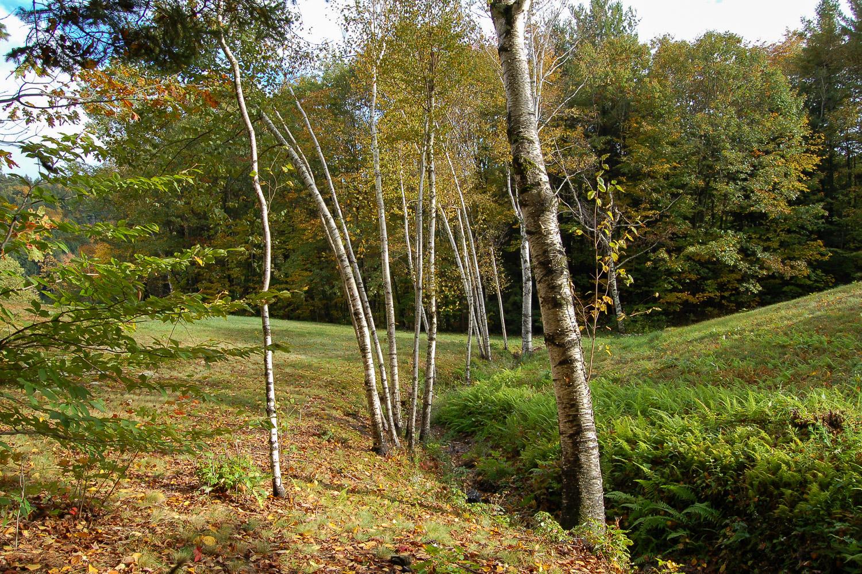 birches-0249.jpg