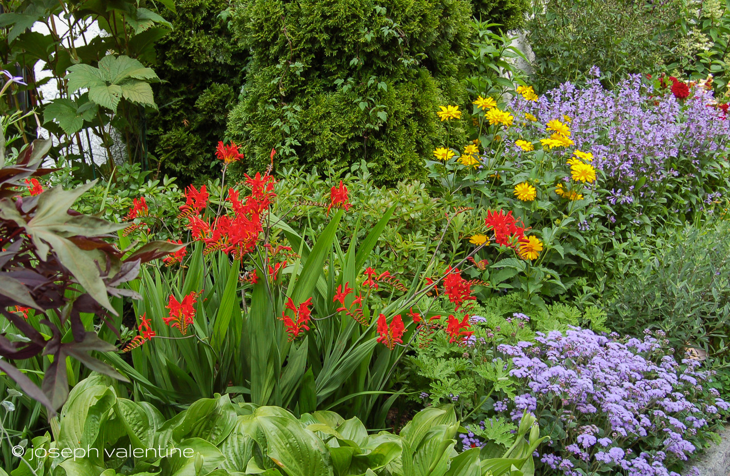 The bright and flashy Crocosmia 'Lucifer' anchors a corner of this border in a Maine garden.