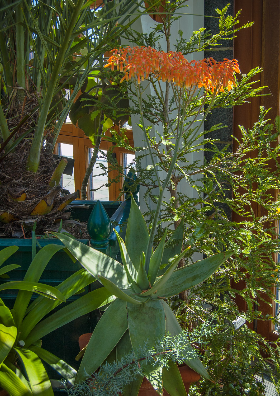 Aloe saponaria