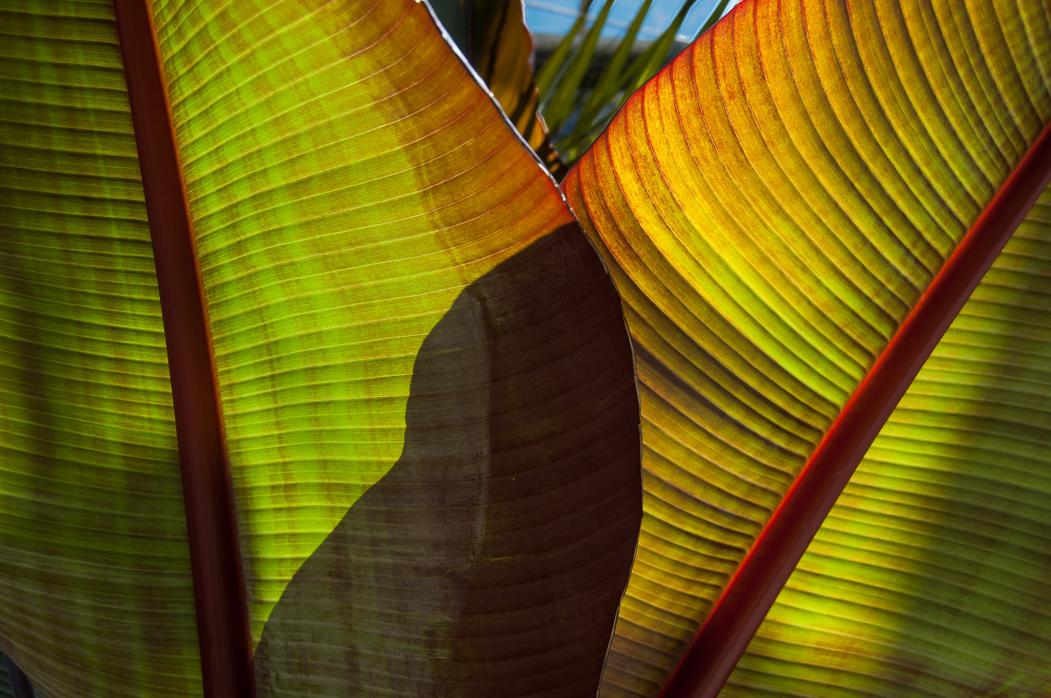 Red Banana Tree Leaf (Musa sumatrana 'Rojo')