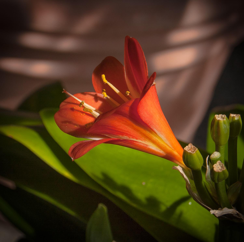 Clivia Flower