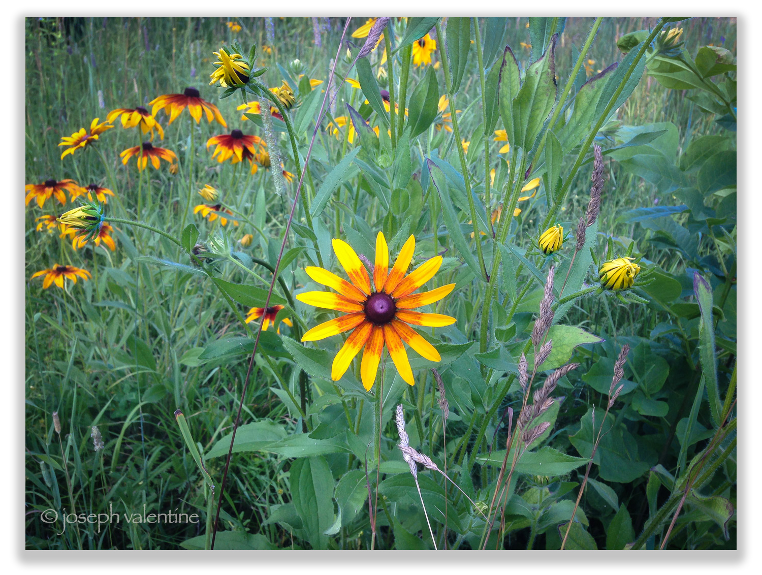 Self-seeding Rudbeckias in the meadow at Juniper Hill.