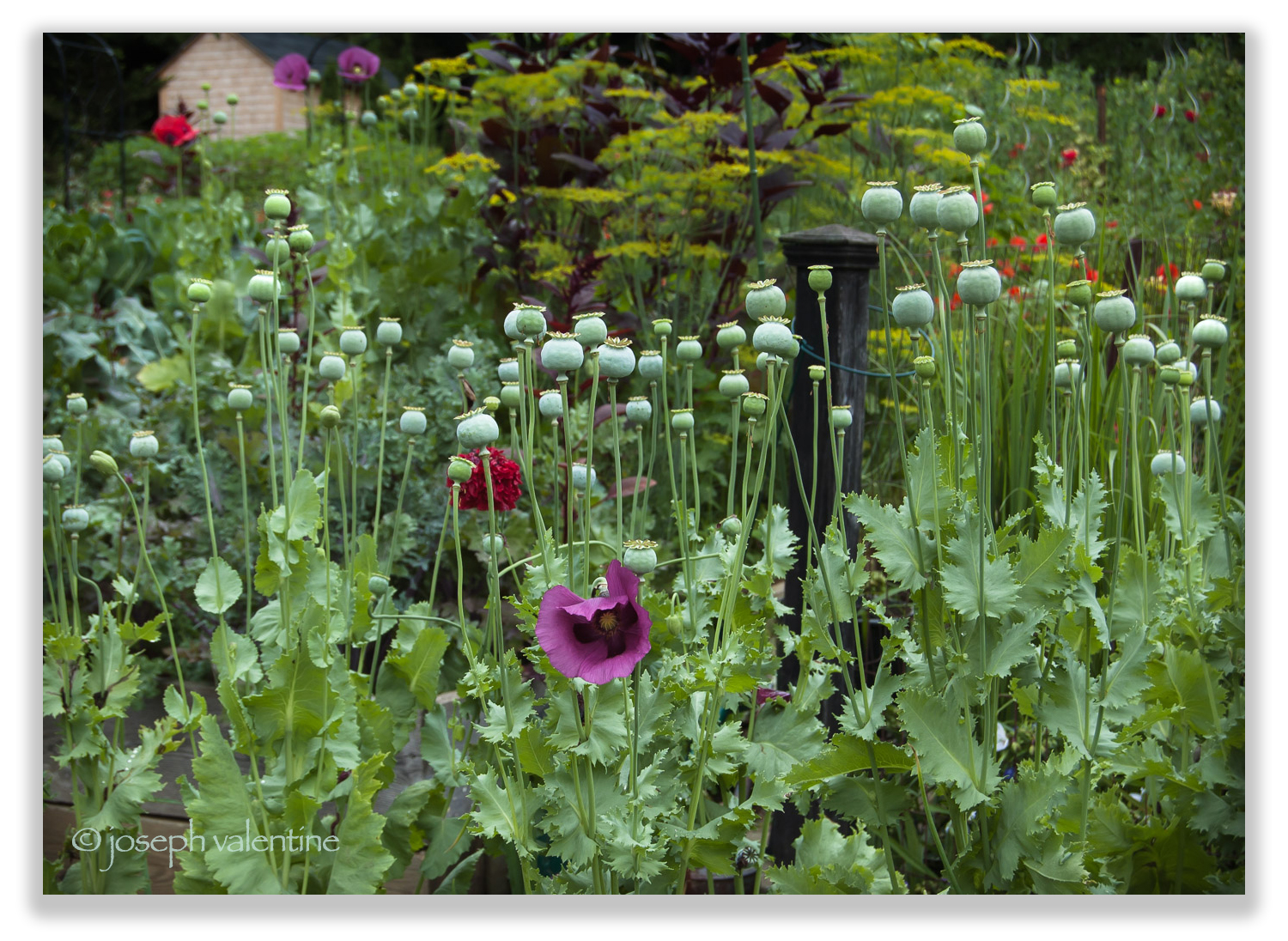 The seed heads of Opium Poppies (Papaver somniferum) add just the right blue-green hue to Bill and Eileen Elliott's floriferous New Hampshire garden.