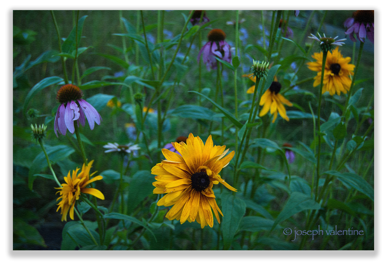 It's mid August and Rudbeckias and Echinaceas fill the wildflower meadow at Juniper Hill.