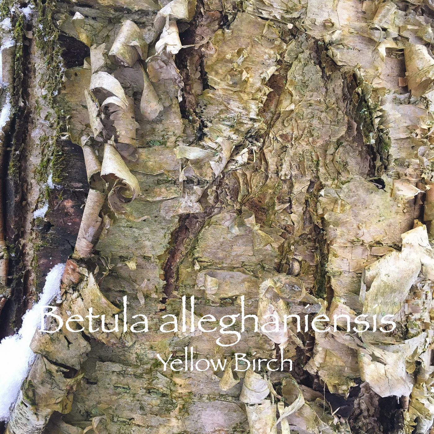 betula yellow.jpg