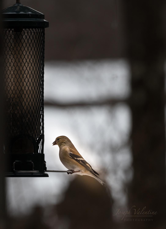 goldfinch-4958.jpg