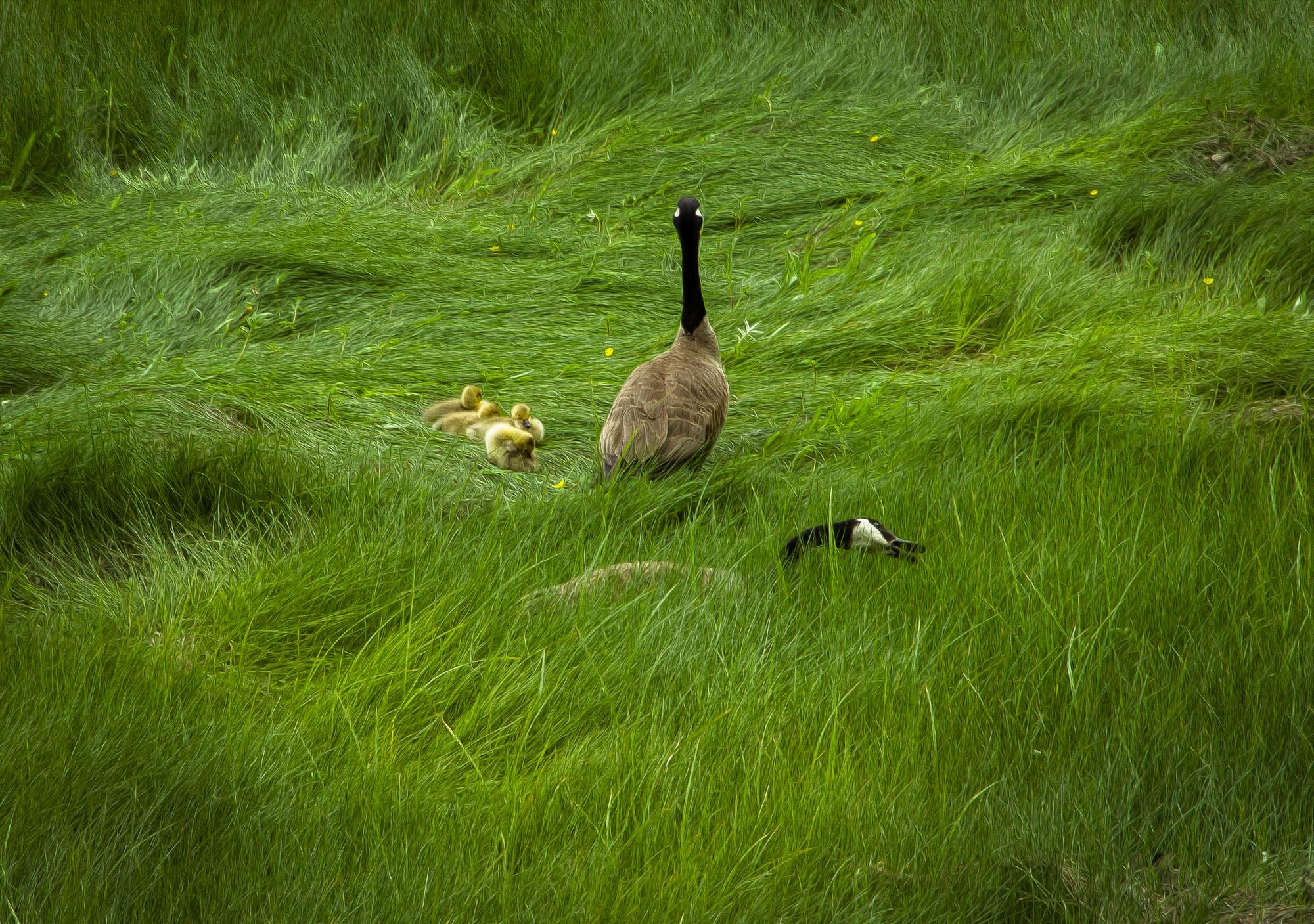 geese family-2.jpg