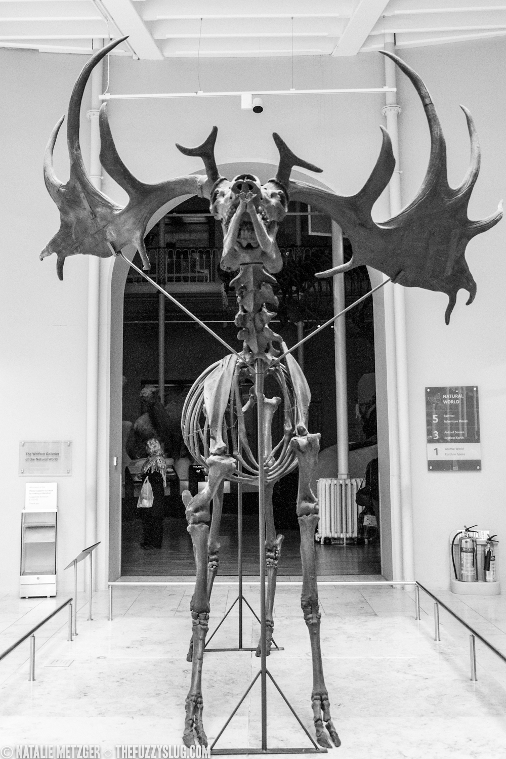 Irish elk (  Megaloceros giganteus  )   National Museum of Scotland  These impressive beasts of the last glacial periord had the largest antlers of any cervid. Living 40000-7700 years ago they survived well after the end of the ice age and scientists are still unclear as to what caused their eventual extinction.