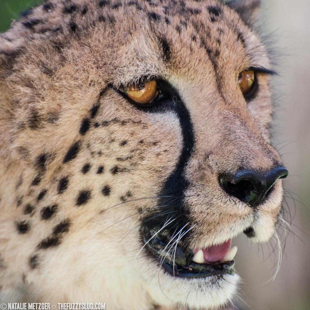 Cheetah  (  Acinonyx jubatus  )   San Diego Zoo Safari Park  San Diego, California