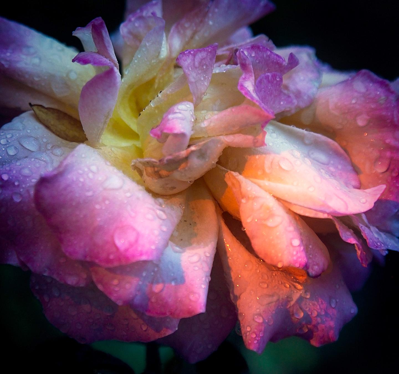 Rose Studio VIII - gtaylor.jpg