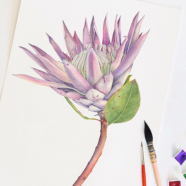 King Protea Flower 👑 Fabriano Artistico paper. Winsor and Newton watercolors. Escoda Grafilo brushes. • • • #watercolor #waterblog #botanicalart #botanicalartist #artist #art #botany #kingprotea #protea #botanicalillustration #aquarelle #artcommision #flower #watercolorflower #watercolortattoo #illustration #fineart #ботаника #ботаническаяиллюстрация