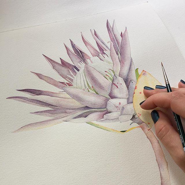 King protea flower in progress. • Ура! Отборочный этап в #ботанический_баттл пройден. Но расслабляться некогда. Готовлю серию ботанических иллюстраций для выставки. • • • #fineart #watercolor #watercolors #art #artist #protea #flowers #kingprotea #botanicalart #botanicalillustration #botanical #illustration #aquarelle #artwork #inspiration #waterpaint #finedetails #ботаника