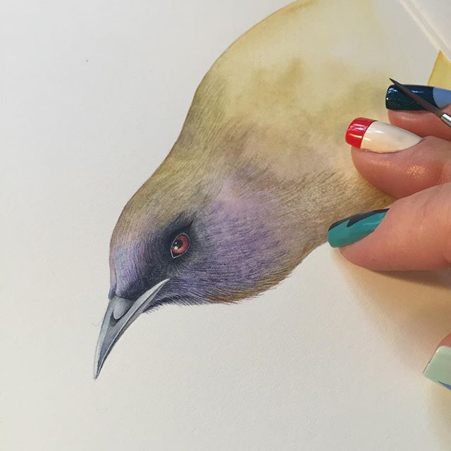 "Bellbird for ""Birds of New Zealand"" series.  #watercolor #waterblog #bird #watercolorpainting #berlinart #illustration #watercolour #wip #artcomission #newzealand #birds #birdsofinstagram #inspiration #art #kunst #birdsofnewzealand #watercolorartist #scientificillustration #birdsillustration"