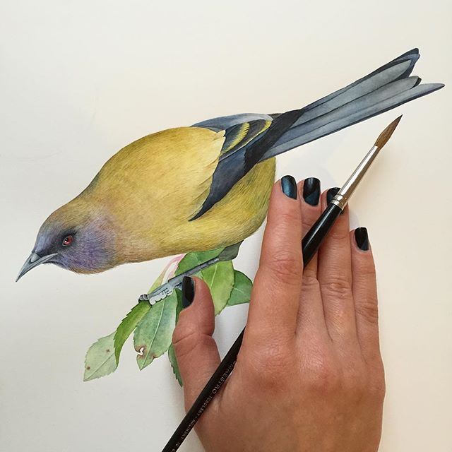 "My love ❤️ Bellbird for ""Birds of New Zealand"" series.  #watercolor #waterblog #bird #birds #bellbird #berlinart #berlinartist #art #watercolour #kunst #birdsofinstagram #birdsofnewzealand #newzealand #watercolorart #watercolorartist #birdillustration #wip #artcommission #illustration"