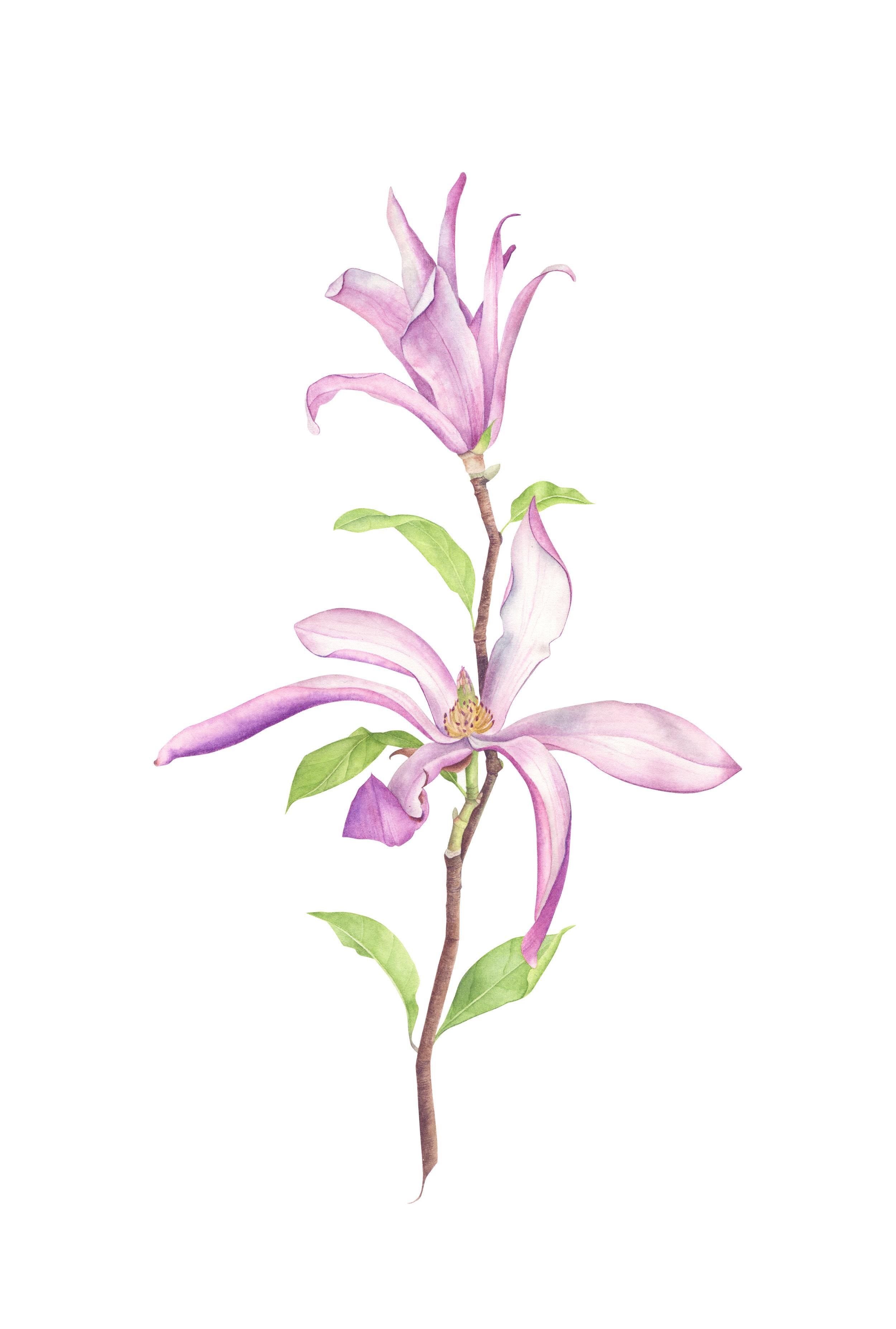 magnolia stelatta_72.jpg