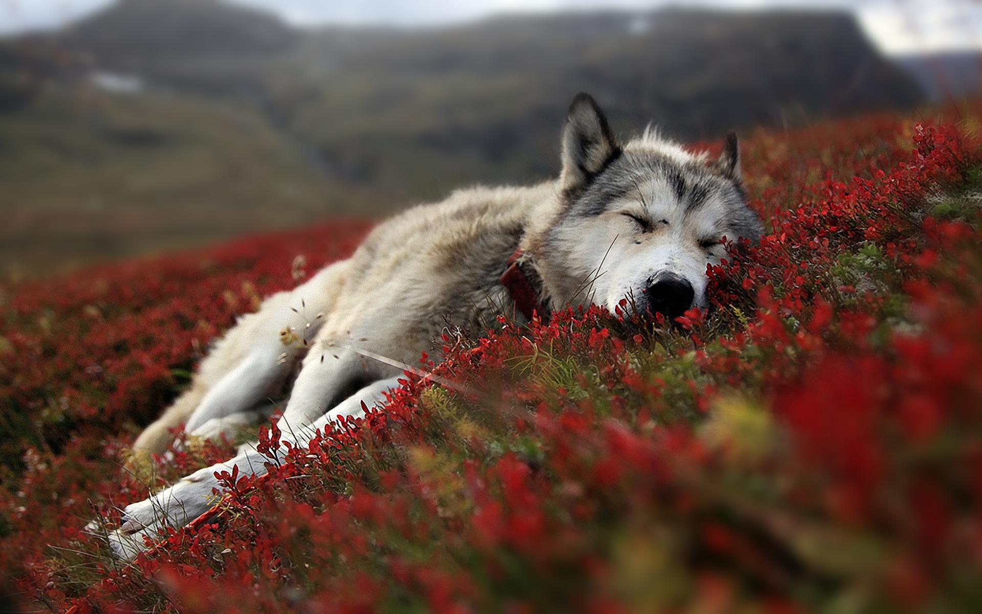 Wolf-Wallpaper-wolves-16120140-1920-1200.jpg