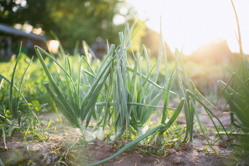 Common Harvest Farm Green Onions