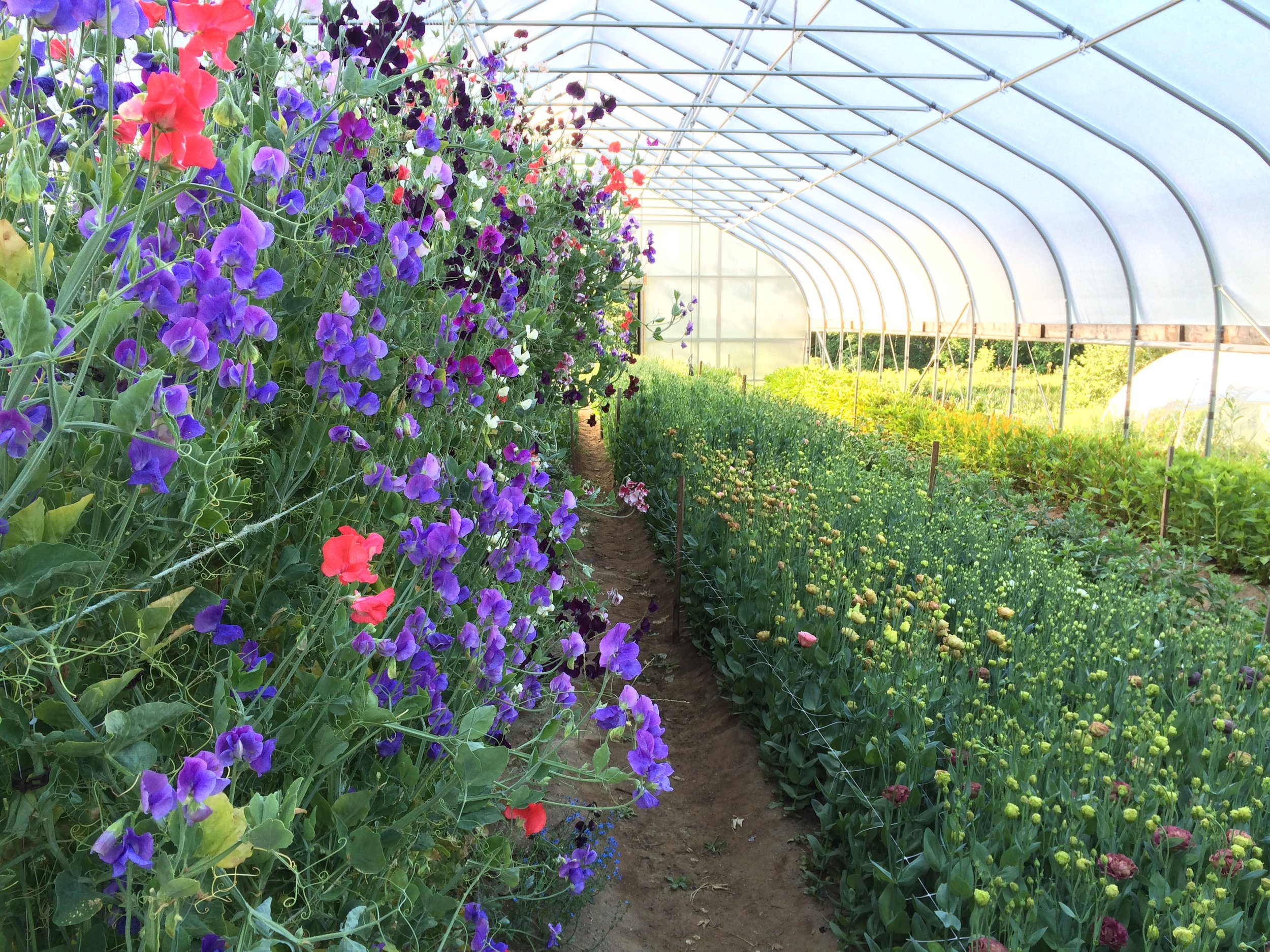 The high tunnel's protected climate allows us to plant more intensively and extend the season earlier in spring and later in fall
