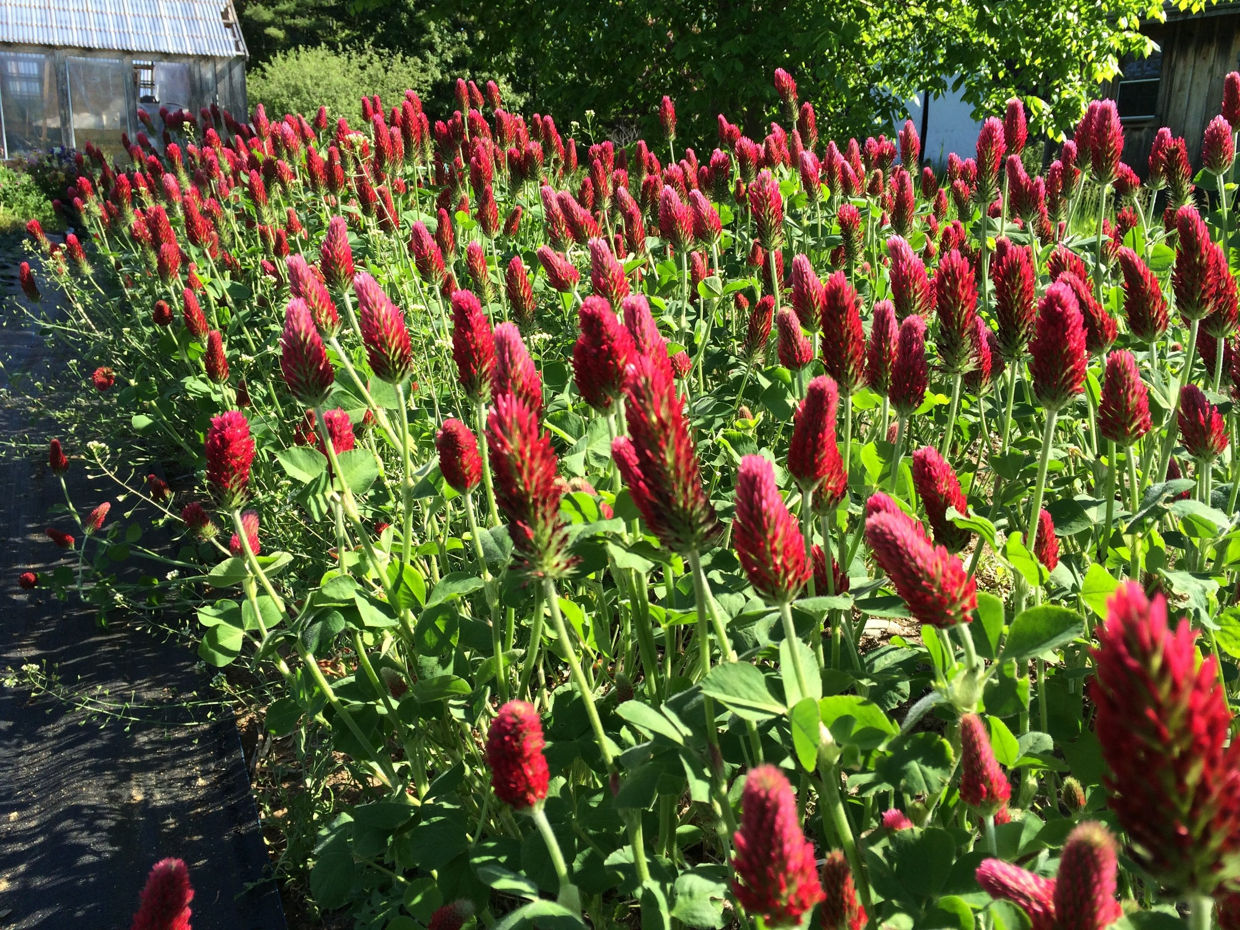 Crimson clover as cover crop fixes nitrogen in the soil and provides great flower forage for beneficial insects and pollinators