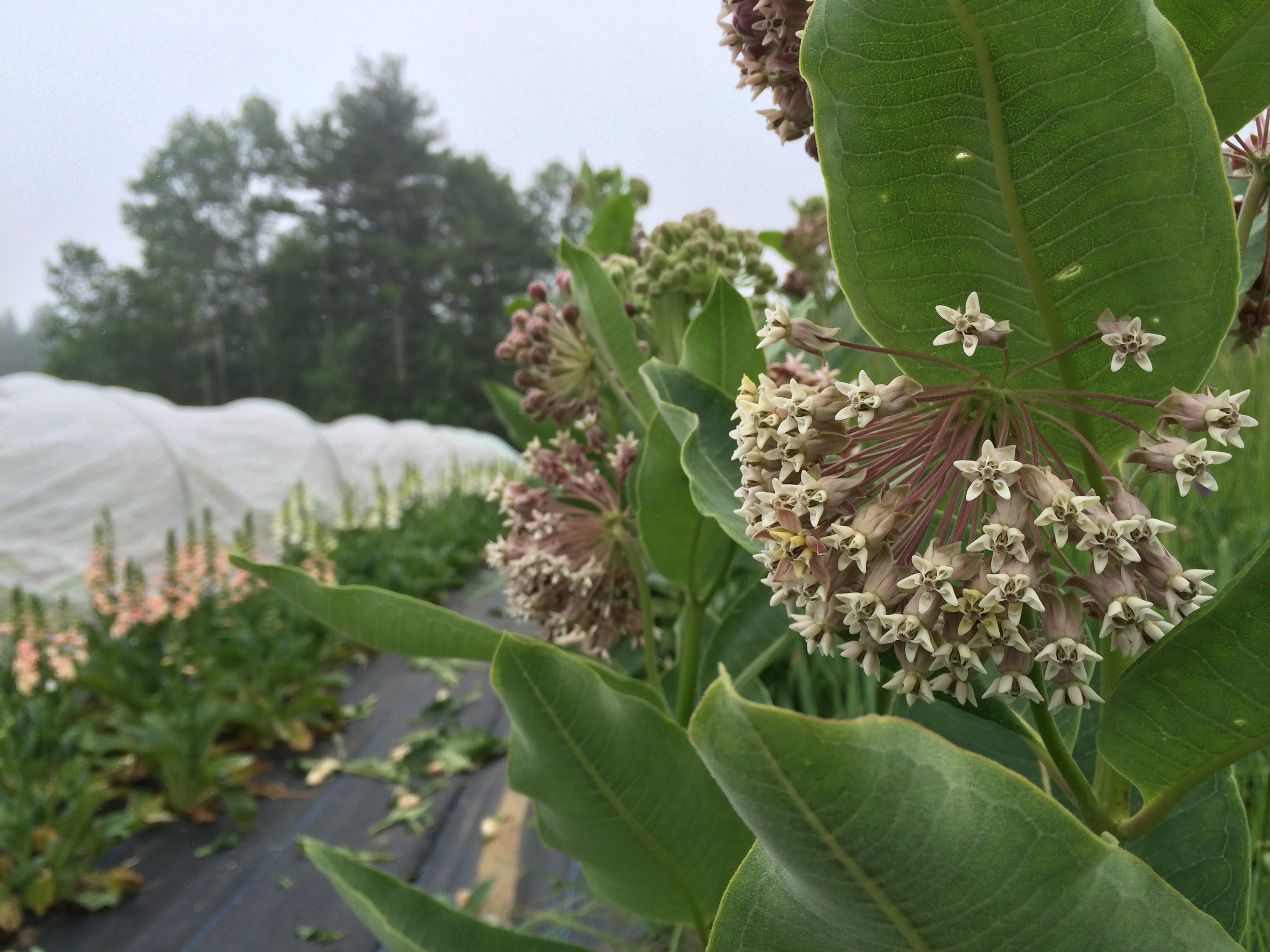 Native milkweed grows adjacent to our flower field and is a main source of food for monarch butterfly caterpillars