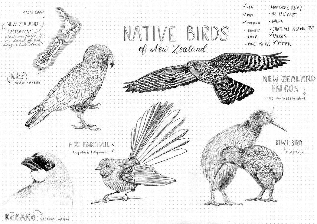 Peita Blythe_NZ Birds.png