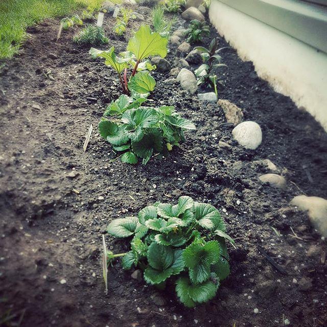 Digging in the dirt. #herbs #strawberries #rhubarb #planting #gardening