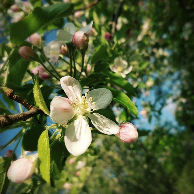 Apple blossoms. #spring #trees #appleblossom #flowers #beefriendly