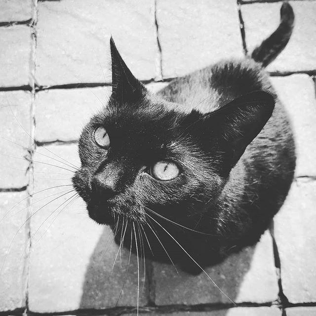 She insists I let her outside every morning before I go to work. #junglecat #sunbathe #catsofinstagram #blackcat #catlife