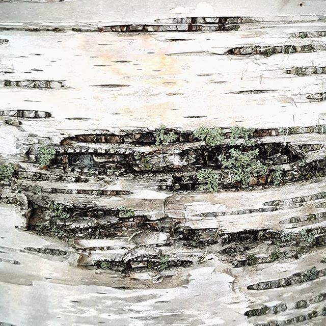 Birch #birch #bark #tree #nature
