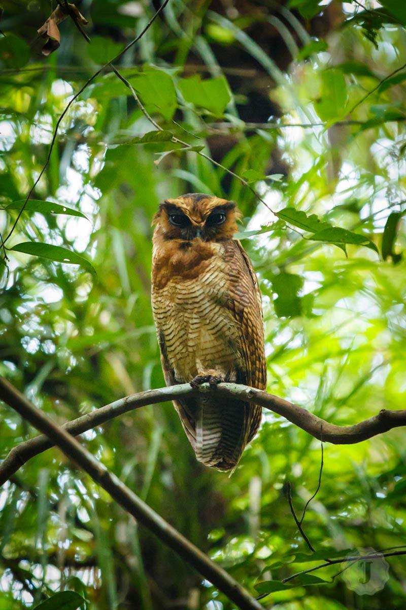 Berbak_Suspicious_Owl-1-20130620.jpg