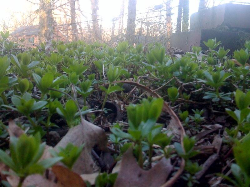 Little shoots rising up out of frozen soil...