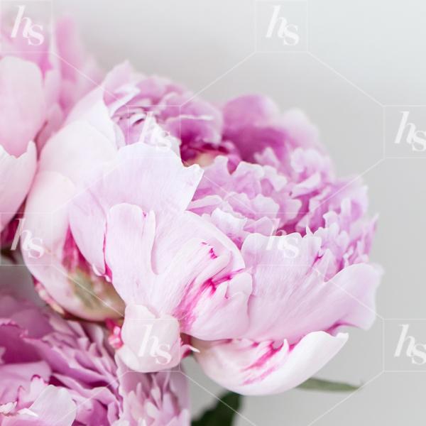 haute-stock-photography-peony-desktop-collection-final-15.jpg